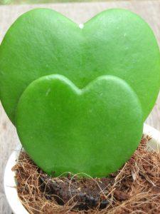 plante cactée en forme de coeur lisse